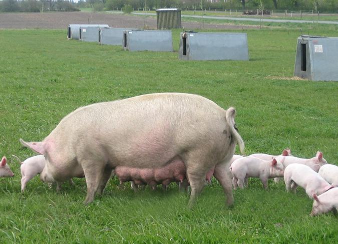 swine diseases pictures